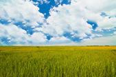 Rice farm under the blue sky — Stock Photo