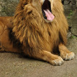 Lion yawning — Stock Photo