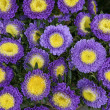 Bouquet of fresh asters — Stock Photo #6825081