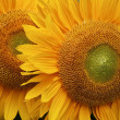 Sunflowers — Stock Photo #6825090