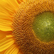 Sunflower — Stock Photo #6825107