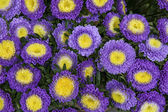 Bouquet of fresh asters — Stock Photo