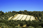 Olive plantation on the Crete — Stock Photo
