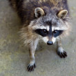 Sad raccoon - Stock Photo