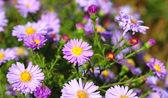 Beautiful Flowers in the garden — Stock Photo
