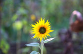 Magnifique tournesol — Photo