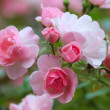 Stock Photo: Roses in the garden