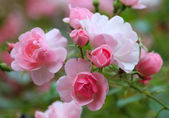 Roses in the garden — Stock Photo
