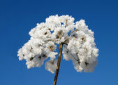 Ice covered flower with deep blue sky — Stock Photo