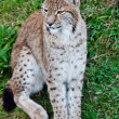 Stock Photo: Adult lynx