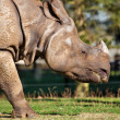 Stock Photo: Rhino grazing