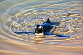 Swimming Penguin — Stock Photo