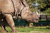 Rhino grazing — Stock Photo