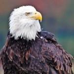 American bald eagle — Stock Photo #7697478