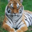 Amur tiger resting — Stock Photo
