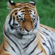 Amur tigerr lying — Stock Photo