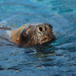 Stock Photo: Sealion