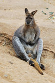 Wallaby sitting — Foto Stock