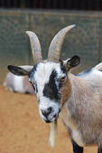 African Goat — Stock Photo