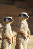 Meerkats on Duty — Stock Photo
