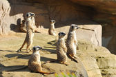 Meerkats on Rock — Stock Photo