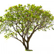 Plumeria tree isolated - Stock Photo