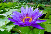 Purple water lily in pond — Stock Photo