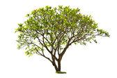Plumeria tree isolated — Stock Photo