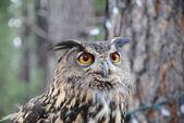 Owl at grand canyon — Stock Photo