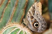 Tropische vlinder op cactus — Stockfoto