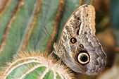 Tropical borboleta cacto — Fotografia Stock