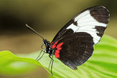 Tropiska fjäril på blad — Stockfoto