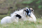 Pecora blackface scozzese, scozia — Foto Stock