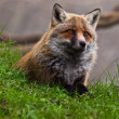 Stock Photo: Fox