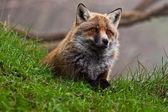 The fox — Stock Photo