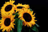 Sun flowers — Stock Photo
