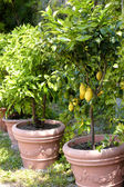 Potted lemon trees — Stock Photo