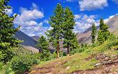 Rare cedar trees in the mountains — Stock Photo