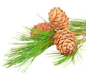 Conifer branch with pine cones — Stock Photo