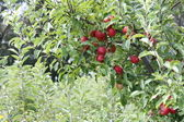 Red Apples on Tree — Stock Photo