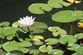 Water Lily (Pink) — Stock Photo