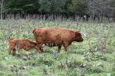 Highland Cattle — Photo