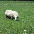 Sheep in Pasture — Stock Photo