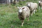 Sheep iin Field — Stock Photo