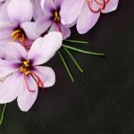 Beautiful purple Saffron Crocus flowers — Stock Photo