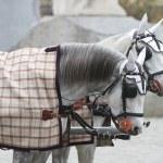 Pferde, die ins Cabriolet eingespannt sind. Wien, Österreich — Stockfoto #7709403