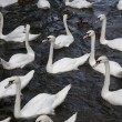 Stock Photo: Swans and Ducks
