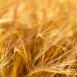Closeup photo of a golden wheat in field - Stock Photo