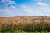 Tarwe velden — Stockfoto