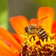 Orange flower and busy honey bee — Stock Photo #6893953